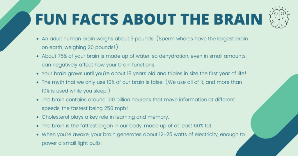 This image has an empty alt attribute; its file name is Fun-Facts-about-the-brain-3-1-1024x535.png